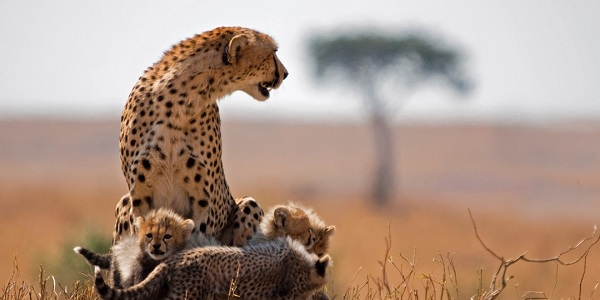 Cheetah and cubs